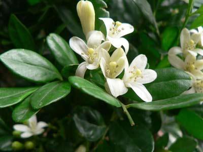 治湿疹:九里香鲜枝叶