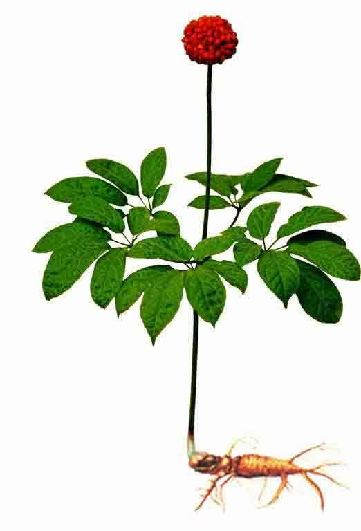 三七的植物形态