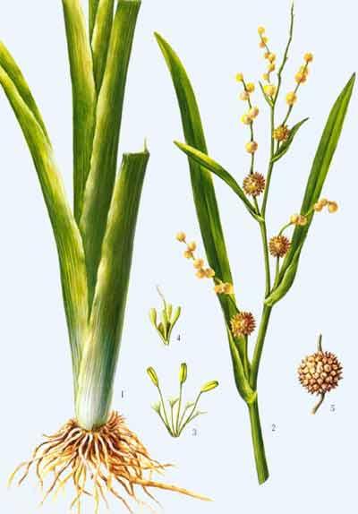 绿豆根茎叶结构图