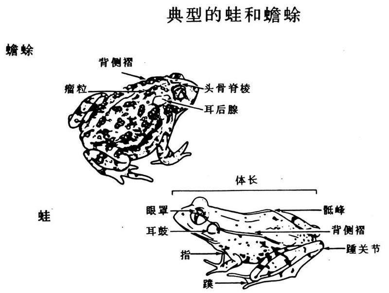 蟾蜍的简笔画法及步骤